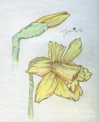 Nature Study Drawing - Daffodils by P J Lewis