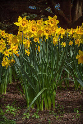 Photograph - Daffodils Standing Tall by Bonnie Follett