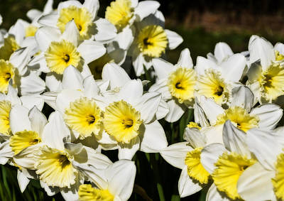 Gaugin Rights Managed Images - Daffodils Royalty-Free Image by Svetlana Sewell