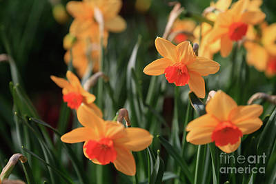Photograph - Daffodils by Tracy Hall
