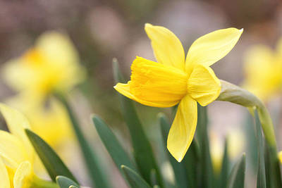 Photograph - Daffodils by Trina Ansel