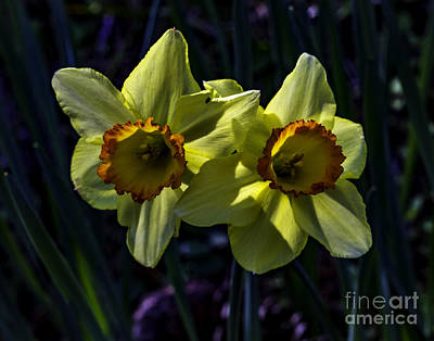 Photograph - Daffodils Two by Ken Frischkorn