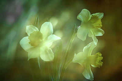Photograph - Daffodils1 by Loni Collins