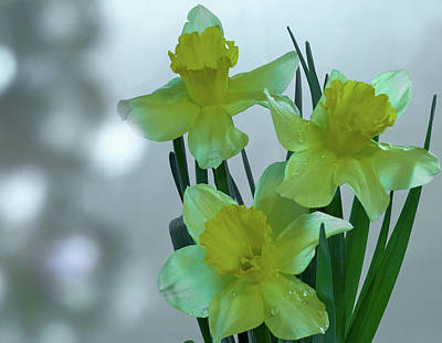 Photograph - Daffodils3 by Loni Collins