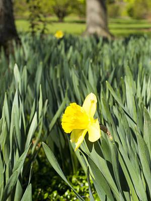 Photograph - Daffoldil - Arboretum - Madison Wisconsin by Steven Ralser