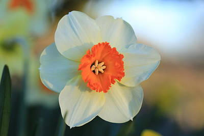 Photograph - Daffy by Lynn Hopwood