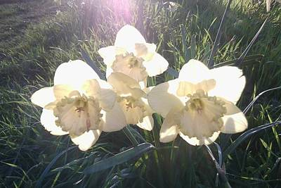 Photograph - Dafs In Early Mornings Sun by Julia Woodman