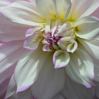 Photograph - Dahlia Sunburst by Carla Parris