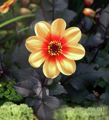 Photograph - Dahlias Flower - Good Morning Sunshine by Dave Nevue