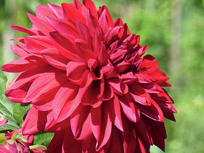 Photograph - Dahlia 2016 4 Of 5 by Tina M Wenger