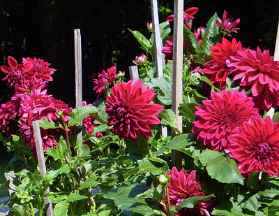 Photograph - Dahlia 2016 5 Of 5 by Tina M Wenger