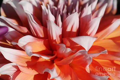 Photograph - Dahlia 60 by Rudi Prott