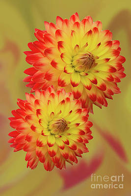 Photograph - Dahlia Abstract by Steve Purnell