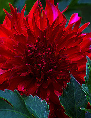 Photograph - Dahlia Afire by Jeanette C Landstrom