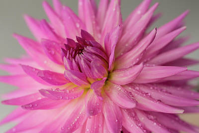 Photograph - Dahlia After The Rain by Mary Jo Allen