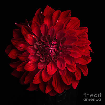Photograph - Dahlia 'american Beauty' by Ann Jacobson
