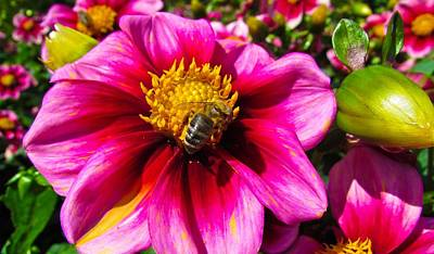 Photograph - Dahlia And Bee by Cesar Vieira