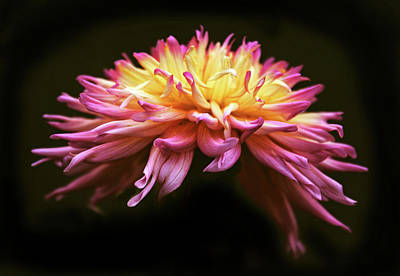 Photograph - Dahlia At Dusk by Jessica Jenney