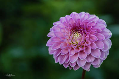 Photograph - Dahlia 'barbarry Bluebird' A Ball Dahlias by Torbjorn Swenelius