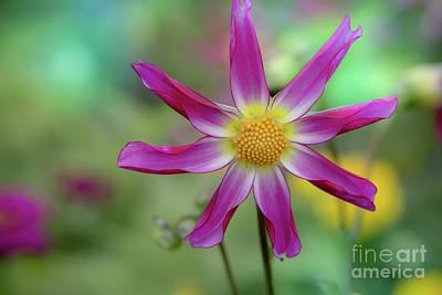 Photograph - Dahlia Beauty by Eva Lechner