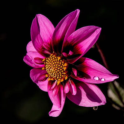 Photograph - Dahlia Bee Happy by Julie Palencia