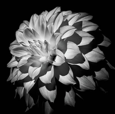 Photograph - Dahlia Bloom by Athena Mckinzie