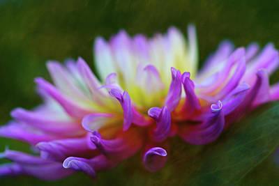 Photograph - Dahlia Bloom  by Robert FERD Frank