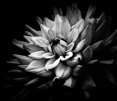 Photograph - Dahlia Blossoming Bw by Athena Mckinzie