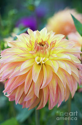 Photograph - Dahlia Camano Pet by Tim Gainey