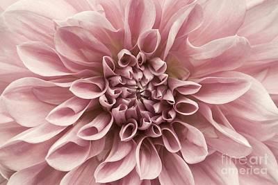 Photograph - Dahlia Closeup In Rose Quartz by Patricia Strand