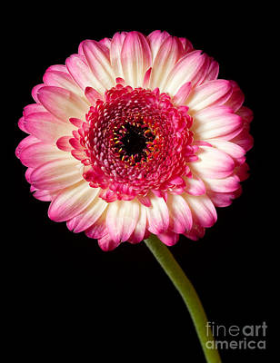 Photograph - Dahlia by Colin Rayner