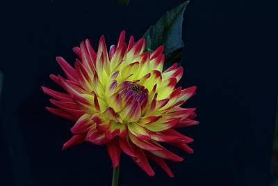 Photograph - Dahlia by Craig Strand