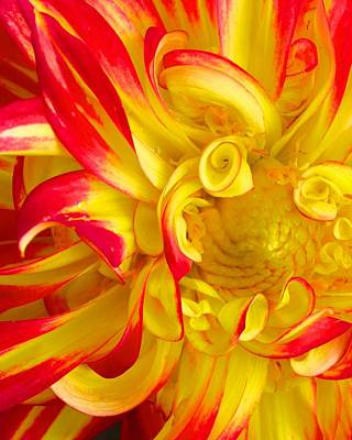 Photograph - Dahlia Curls by Polly Castor