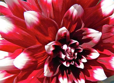 Photograph - Dahlia Defined by Randy Rosenberger