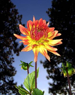 Photograph - Dahlia Delight by Will Borden