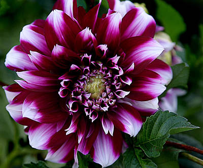 Art Print featuring the photograph Dahlia by Denise Romano