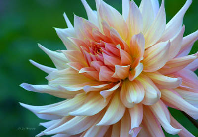 Photograph - Dahlia Dream by Jeanette C Landstrom