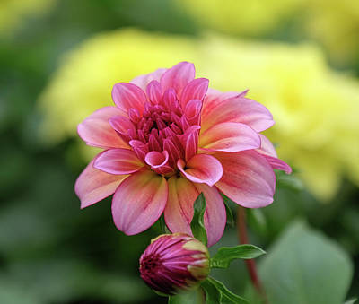 Photograph - Dahlia Early Bloom by Ronda Ryan