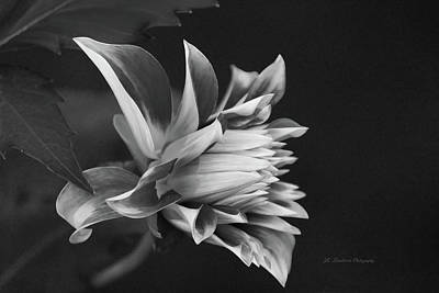 Photograph - Dahlia Elegance by Jeanette C Landstrom