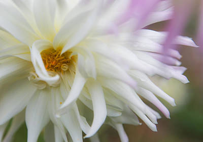 Photograph - Dahlia Enlightenment by Angie Vogel