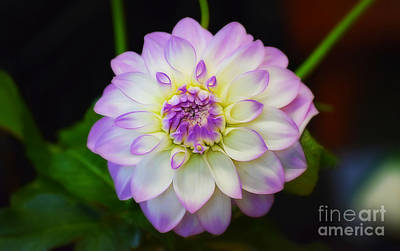 Photograph - Dahlia Eveline by Patti Whitten