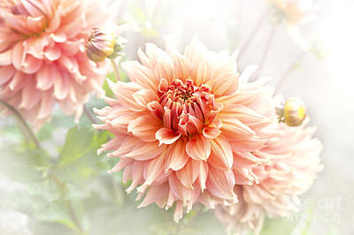 Dahlia 'fairway Spur' Art Print