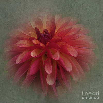 Photograph - Dahlia 'fidalgo Julia' by Ann Jacobson