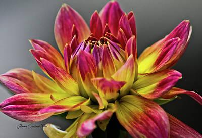 Photograph - Dahlia Flame by Joann Copeland-Paul