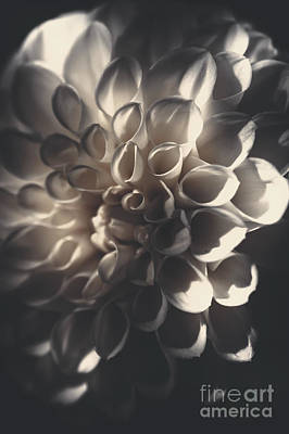 Photograph - Dahlia Flower Close Up. Beauty In Darkness by Jorgo Photography - Wall Art Gallery