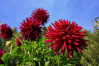 Photograph - Dahlia Flower Garden Art Prints Photography by Baslee Troutman Fine Art Photography