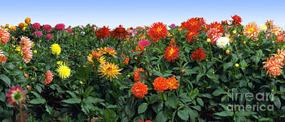Photograph - Dahlia Flower Panorama by Wernher Krutein