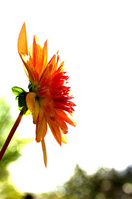 Photograph - Dahlia - Flower - Summer by Marie Jamieson