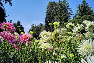 Photograph - Dahlia Garden 1 by Lawrence Christopher
