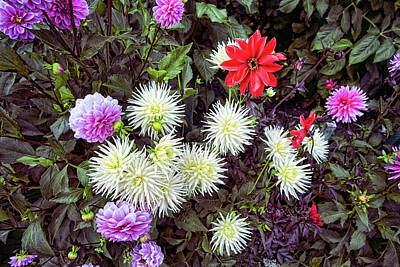 Photograph - Dahlia Garden 3 by Lawrence Christopher